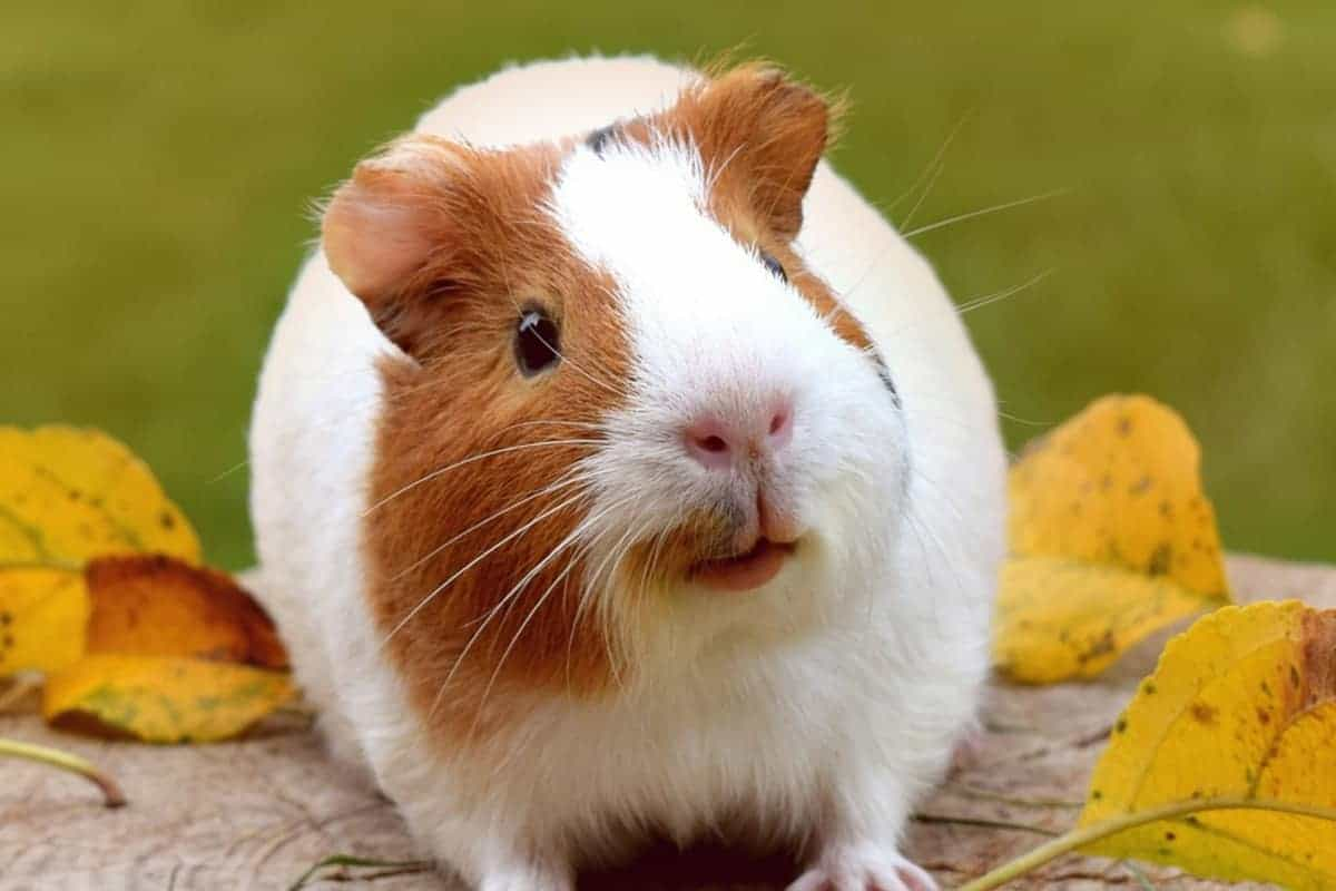 If you're looking for some fun ways to exercise your guinea pig, I've got you covered! Check out 5 brilliant and easy ideas!