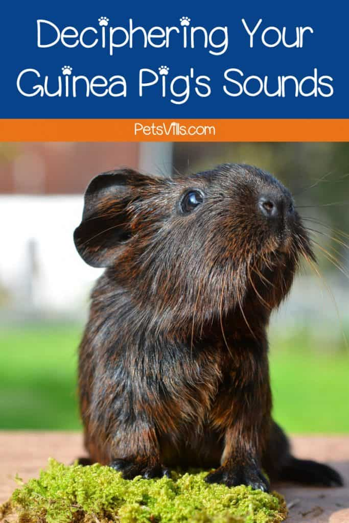 Check out our guide to guinea pig sounds to learn what those squeaks, squeals and purrs mean!