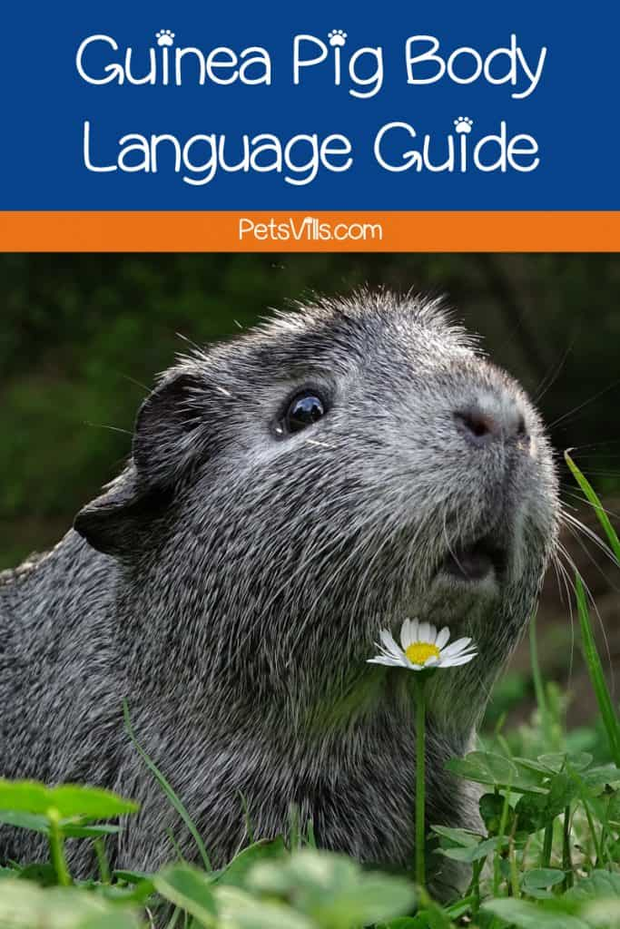 What is your guinea pig's body language telling you? Find out in our guide!