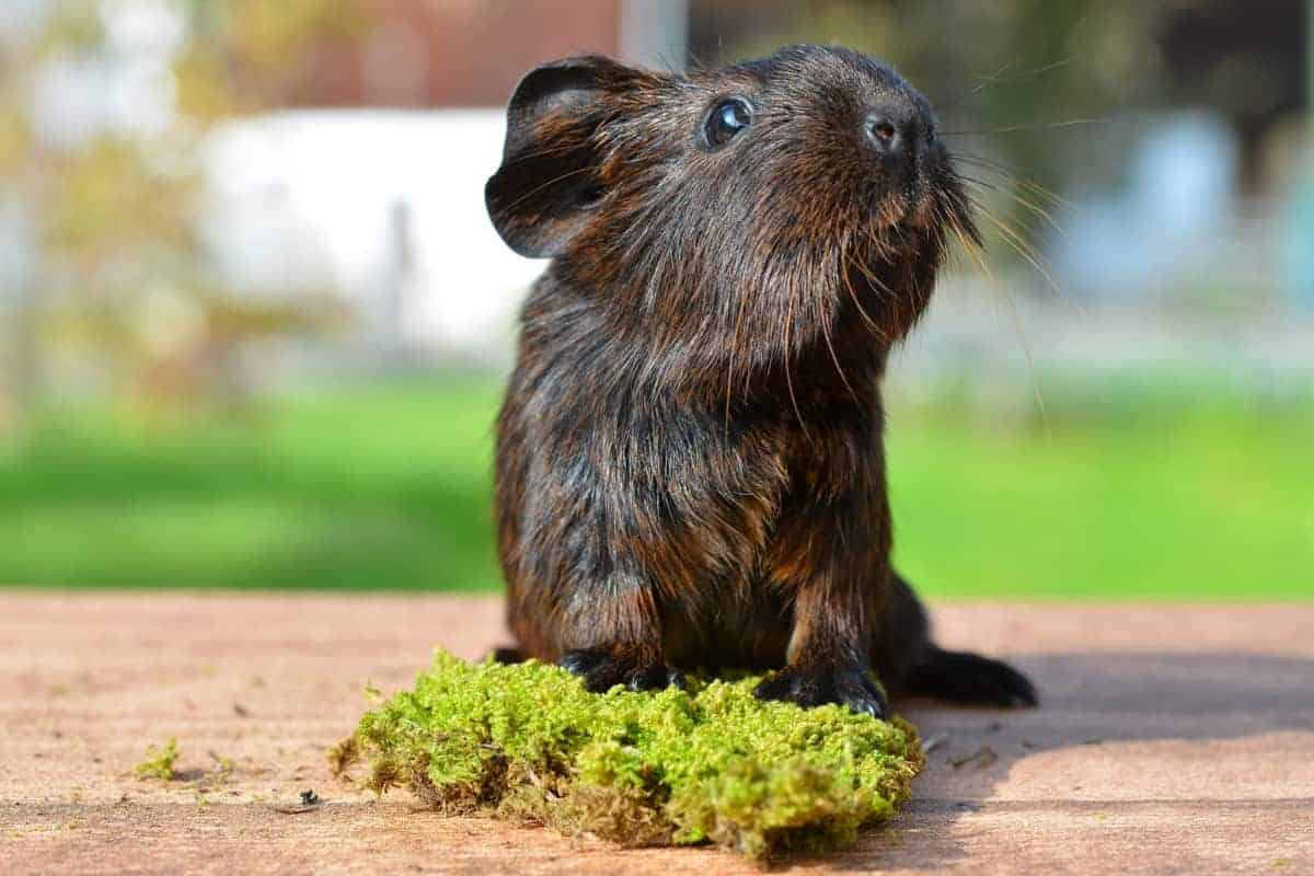 Understand your guinea pig's body language will help you be a better cavy caregiver. Check out the meaning behind the most common postures & noises!