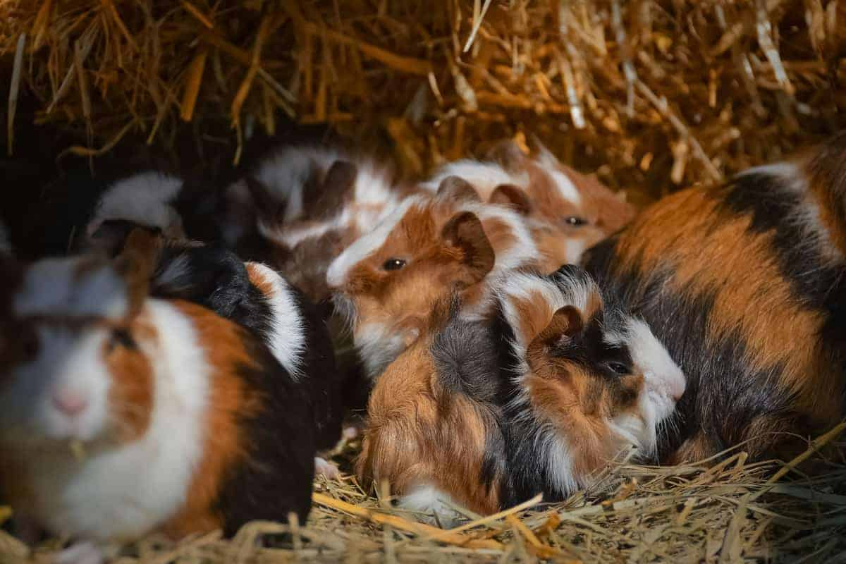 What are the most popular guinea pig breeds? If you're wondering the same things, I've got you covered today! Read on for the top 13!