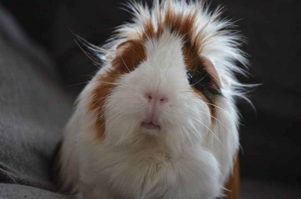 If you're wondering why guinea pigs make good pets, I've got you covered! Read on for the top 10 reasons!