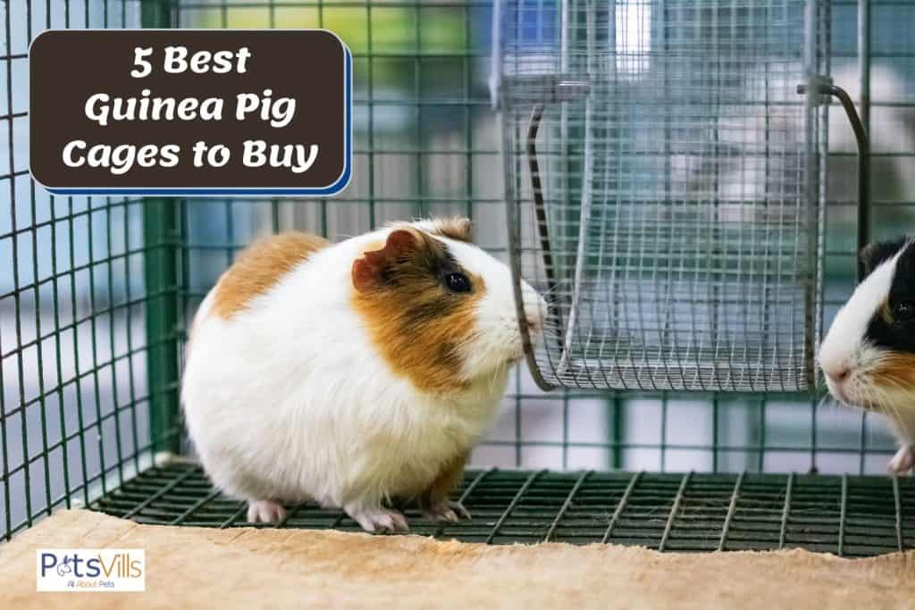 a cute cavy inside the best guinea pig cages to buy