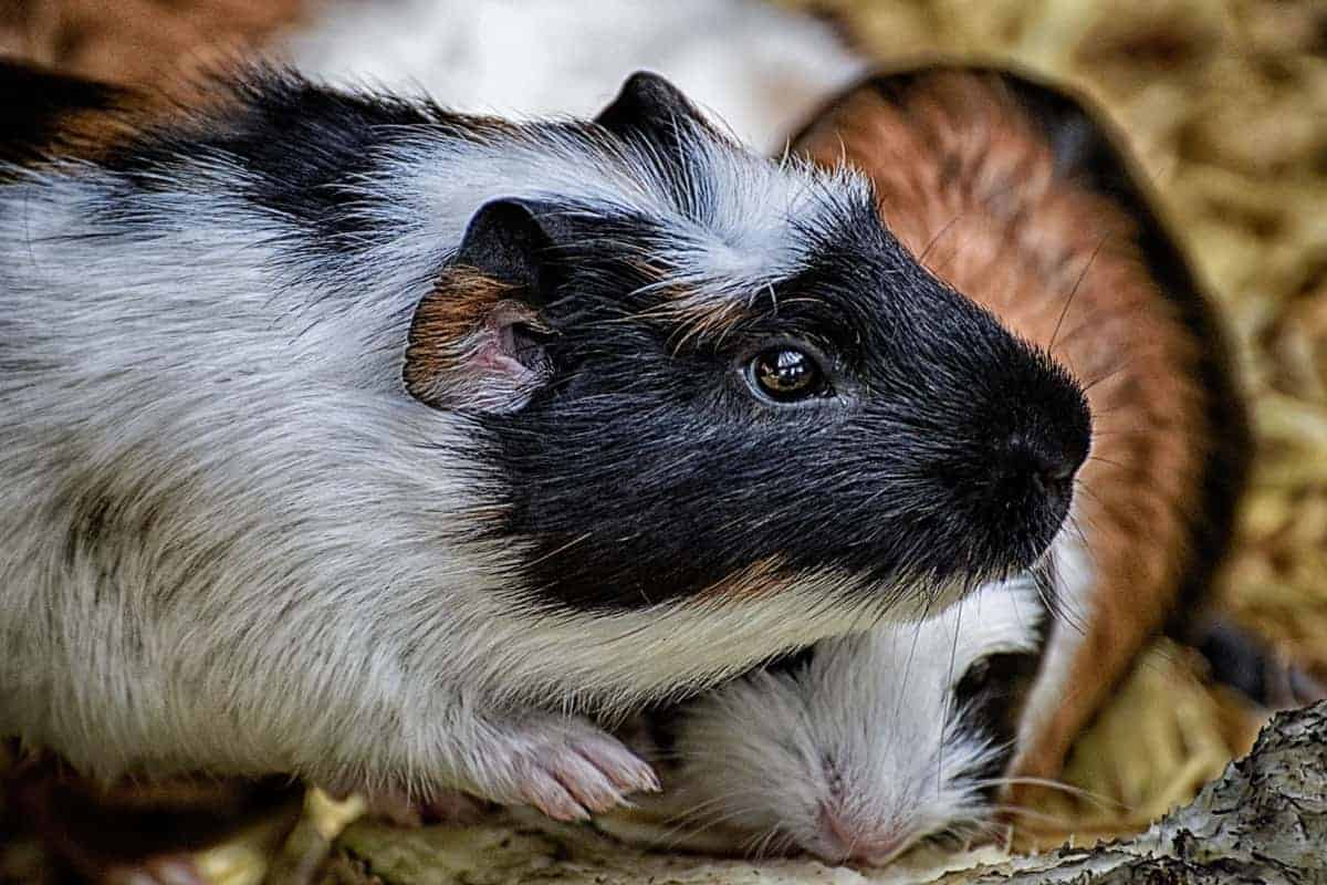 Wondering about some really fun boredom buster ideas for your guinea pig? Check out 10 things to do either with your cavy or without!
