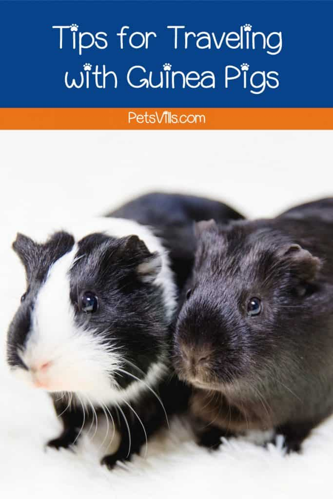 If you're looking for the best guinea pig carriers to help you transport your cavy safely, I've got you covered. Check out 5 that we recommend.
