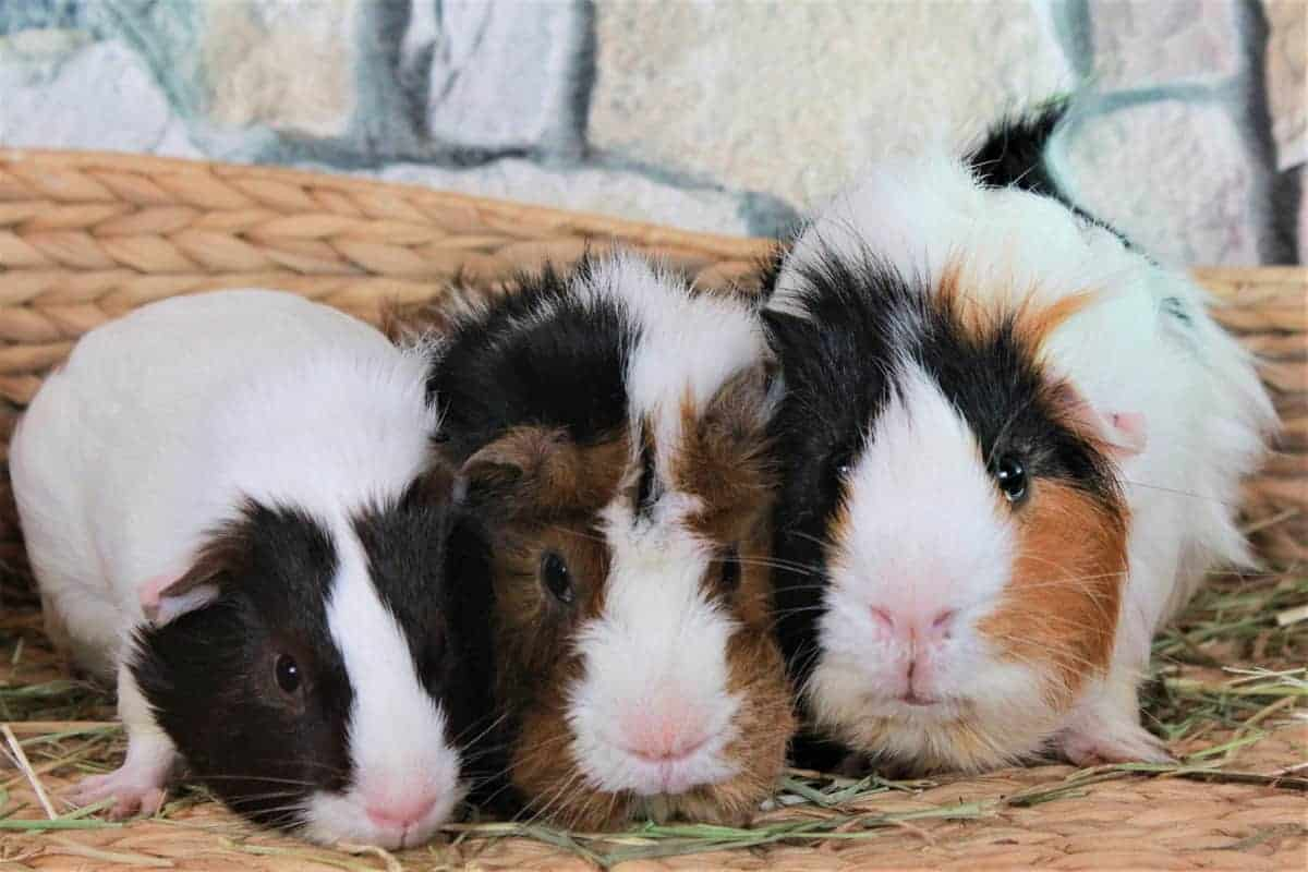 Need some ideas for adorable black and white guinea pig names? Check out 50 that we think are just darling, with 25 each for males and females!