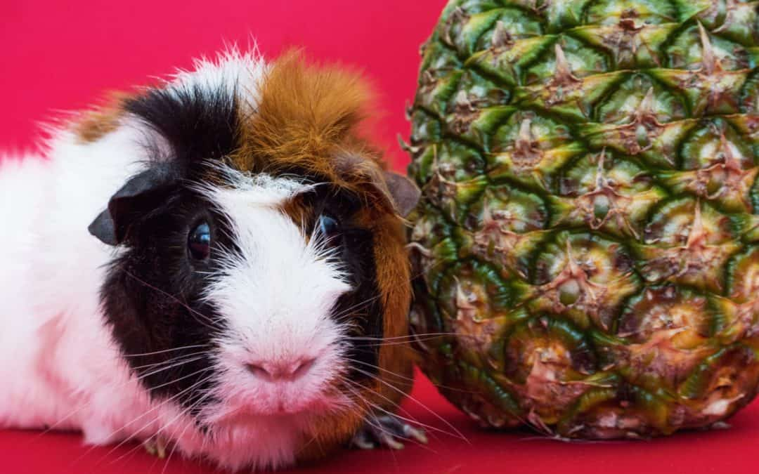10 Adorably Funny Guinea Pig Pictures