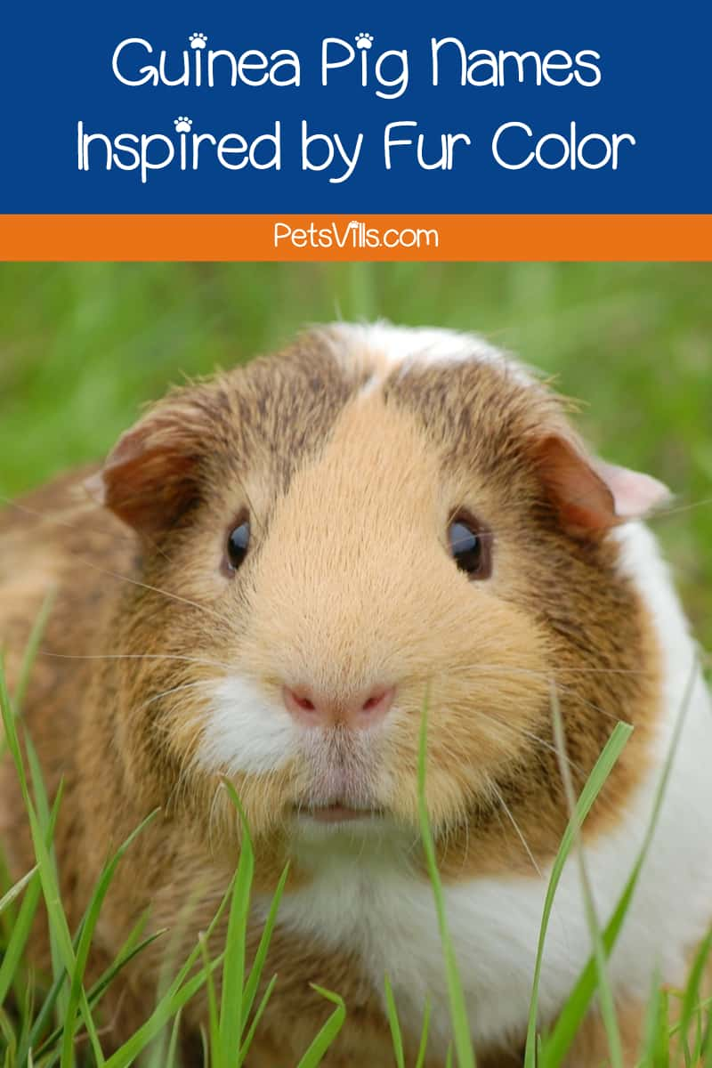 If you're looking for some great names for your guinea pig, you're going to love out list!  We've come up with a whopping 100 ideas based on everything from fur color to guinea pigs in fiction.