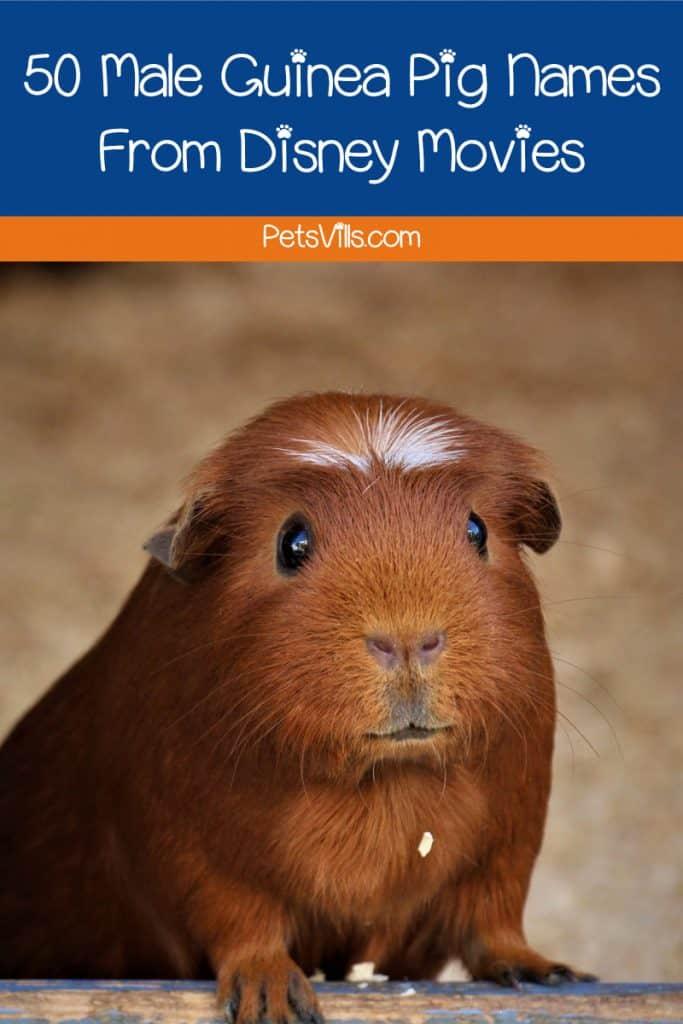 50 Unique Guinea Pig Names From Disney Movies - Petsvills