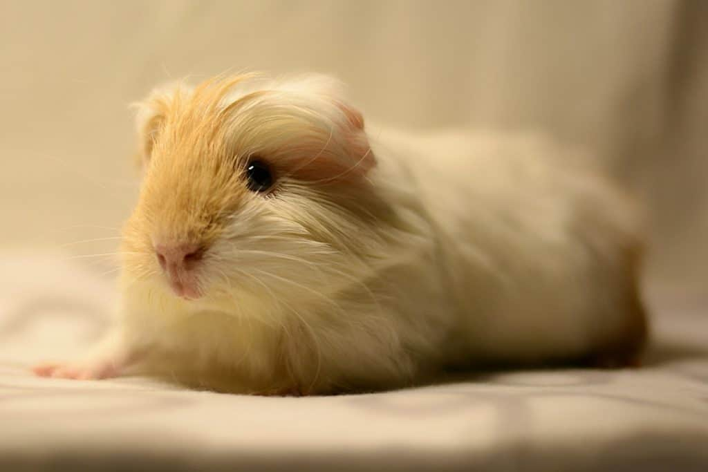 If you're looking for the best guinea pig names from Disney movies, you're gonna love our list! Check out 50 ideas, with plenty for both boy & girl cavies!
