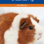 Curious about how to litter train a guinea pig? Yes, it's actually possible! With a little patience and these tips, you'll have a cleaner habitat in no time!