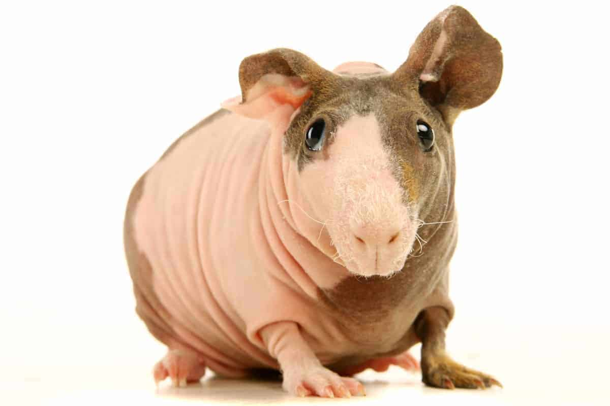 Just like there are hairless cats & dogs, there are bald cavies! Read on to learn all about the adorable Baldwin Guinea Pig!