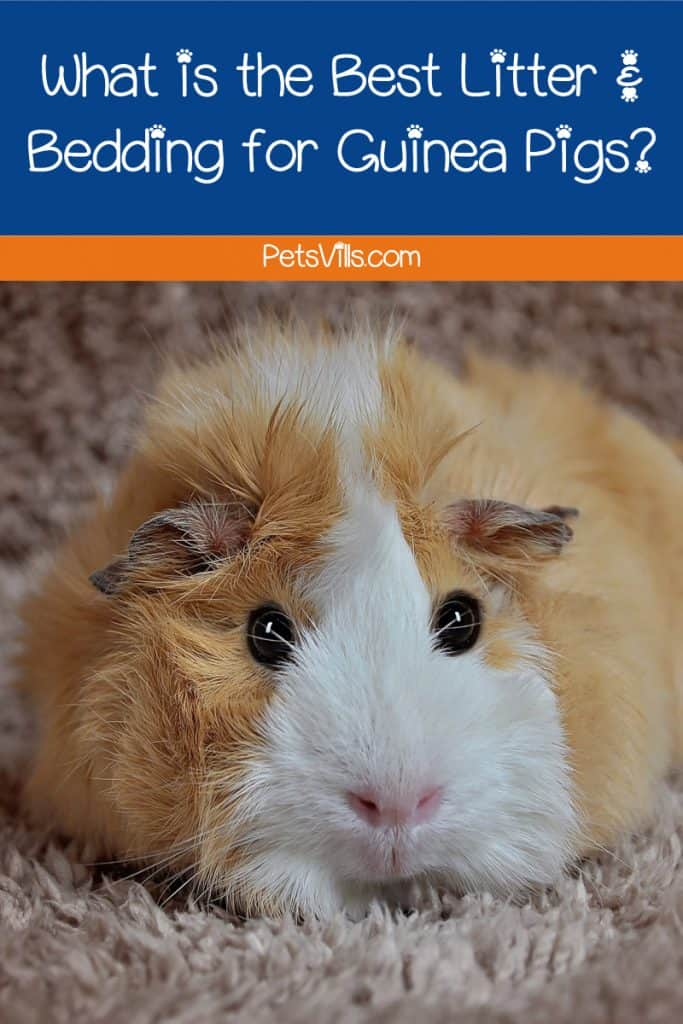 What is the best litter for guinea pigs? That depends! Do you mean bedding or actual litter? Either way, we've got the answer. Find out what it is!