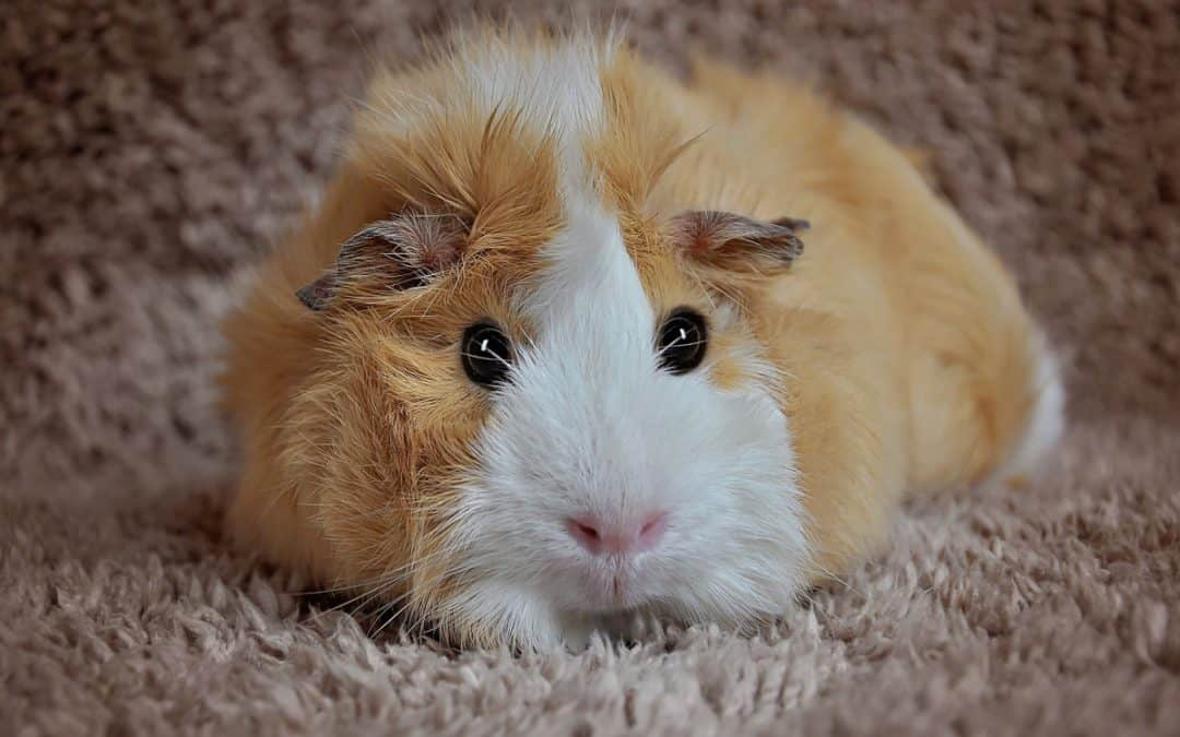 What is the Best Litter For Guinea Pigs?