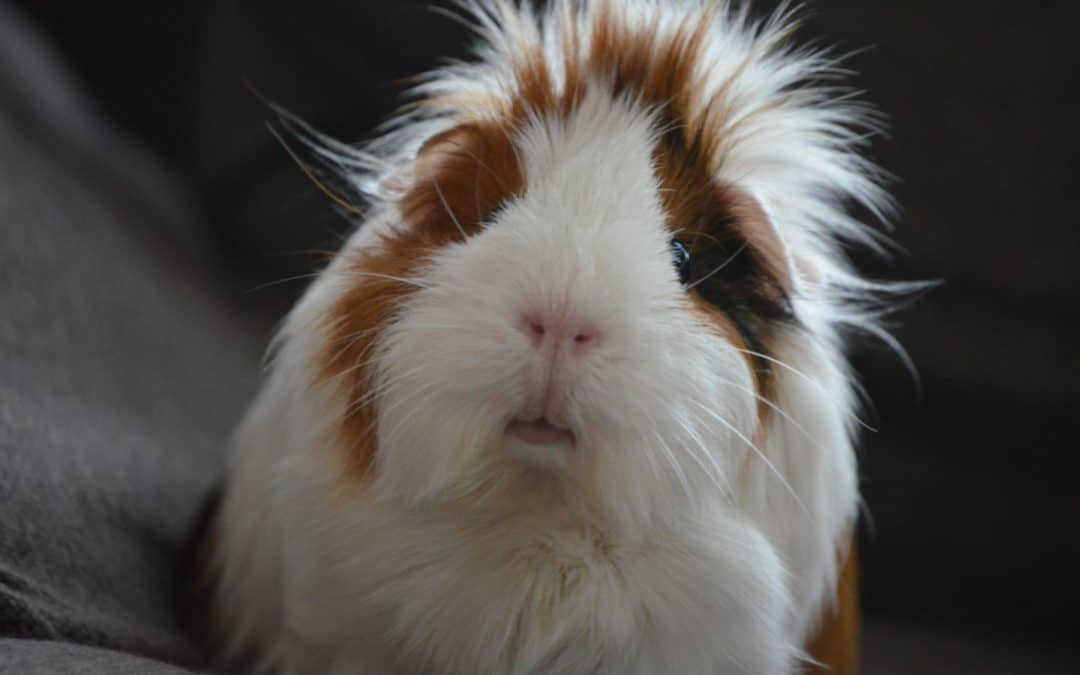 80 Pig Themed Names for Your Guinea Pig