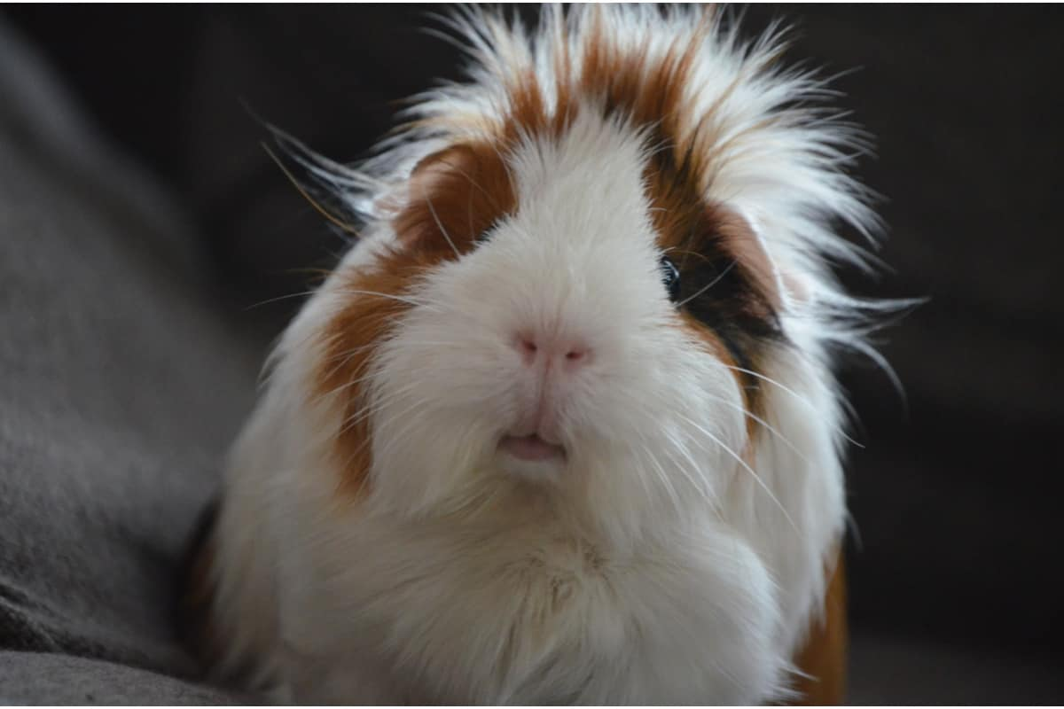 Choosing pig-themed names for your guinea pig is such a fun idea! Check out 80 that we love, with plenty for both male and female cavies!