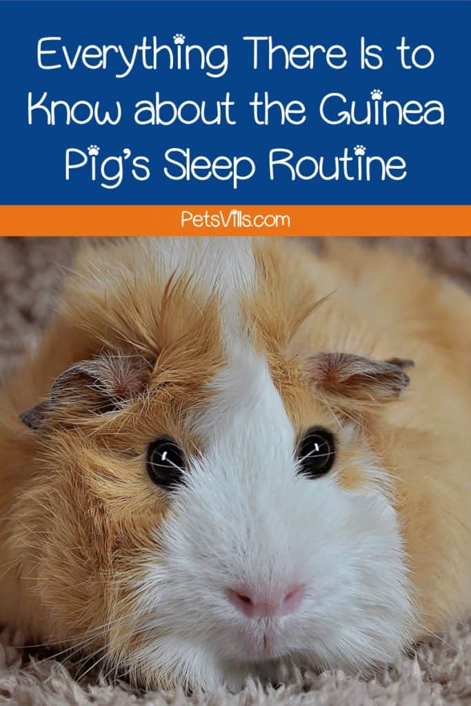 Curious to learn more about guinea pig sleep routines? Read on for your complete guide to when and how these cute critters sleep!