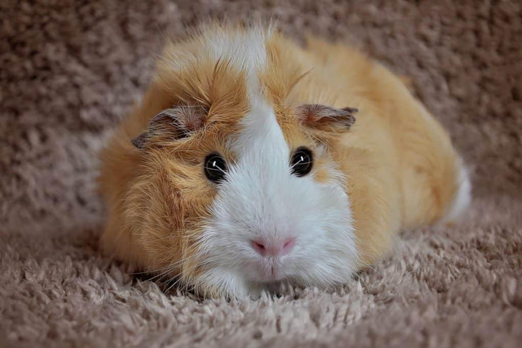 lethargic guinea oig
