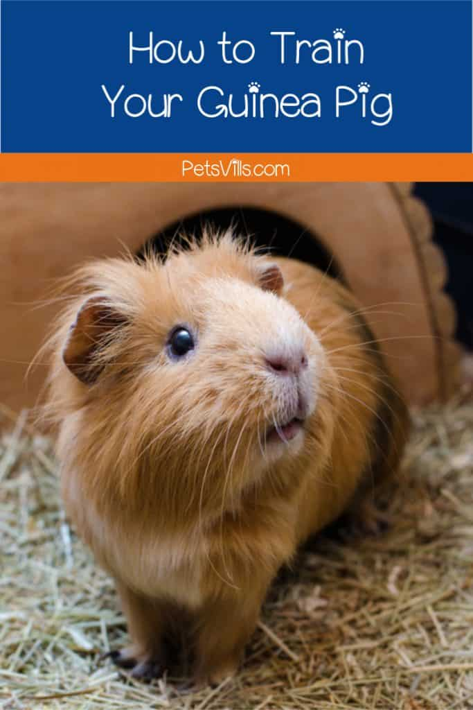 Wondering how to train a guinea pig? Yes, it's actually possible! Check out our simple step-by-step guide to teaching your cavy some new tricks!