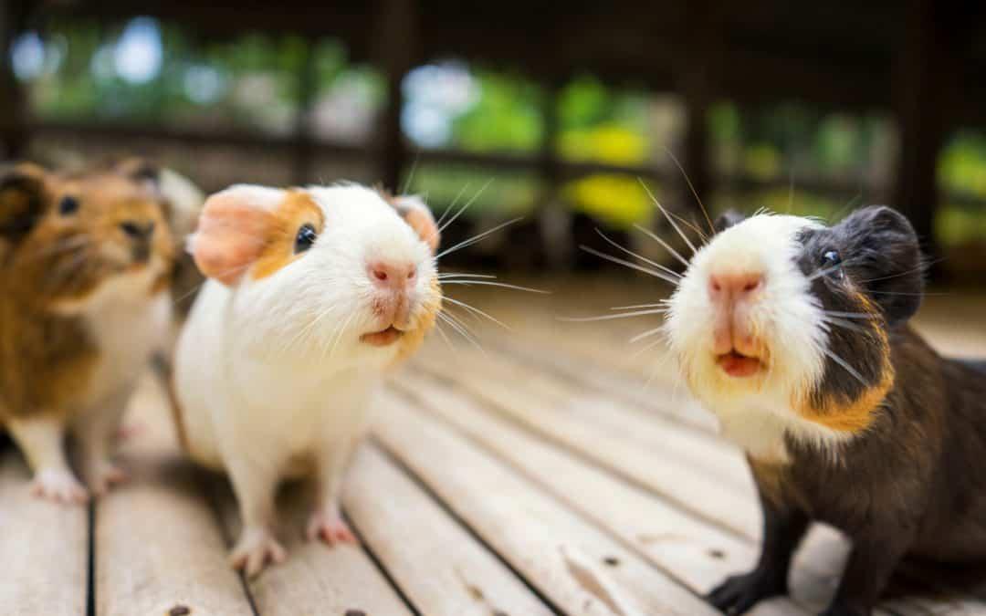 7 Extraordinary Reasons to Adopt a Guinea Pig