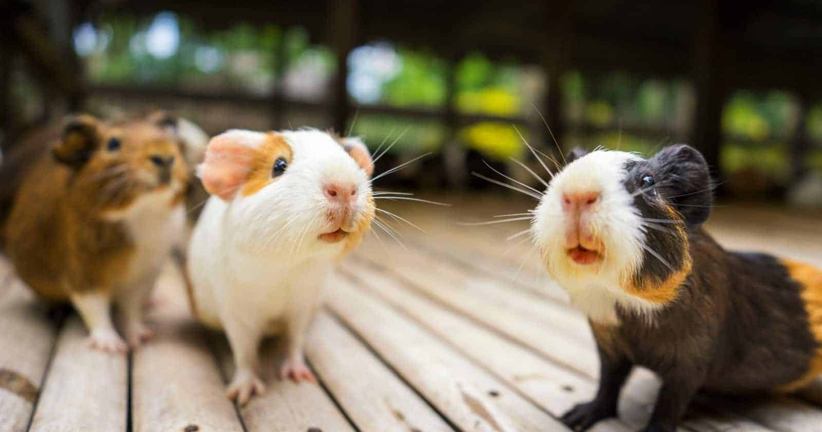 Thinking about adopting a guinea pig but not sure if they're right for you? Well, this will change your mind! Take a look!