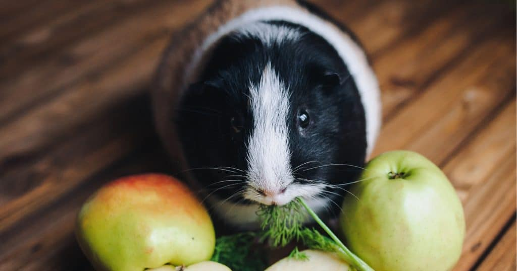 Looking for some funny food names for guinea pigs? Given how much they love to eat, it's definitely a clever way to go! Check out our favorites!