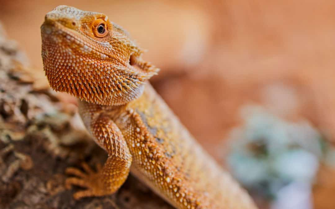 100 Bearded Dragon Names For Your Charming New Pal