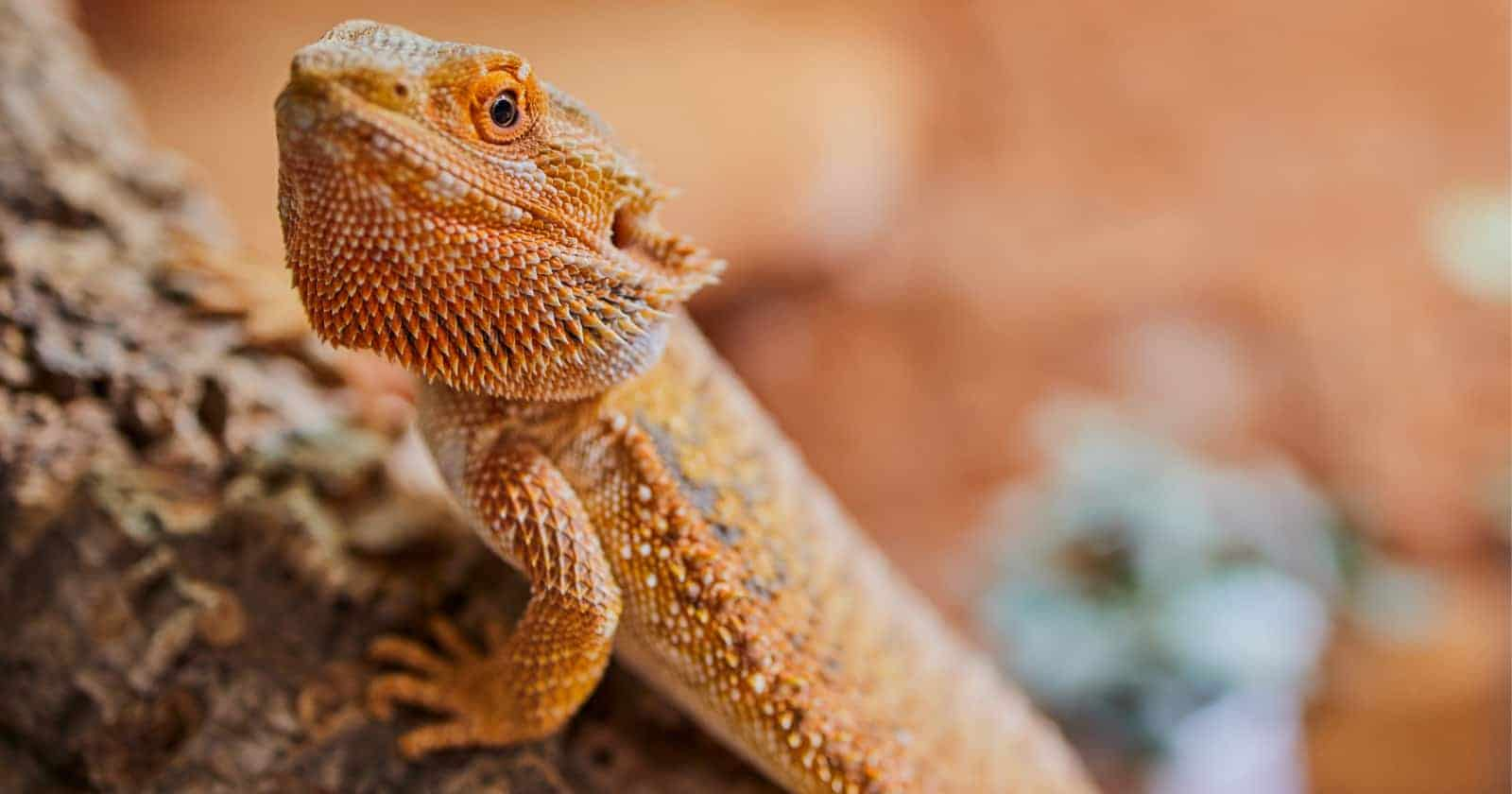 Looking for some cute bearded dragon names? Read on for 100 that we love, with 50 each for males and females!
