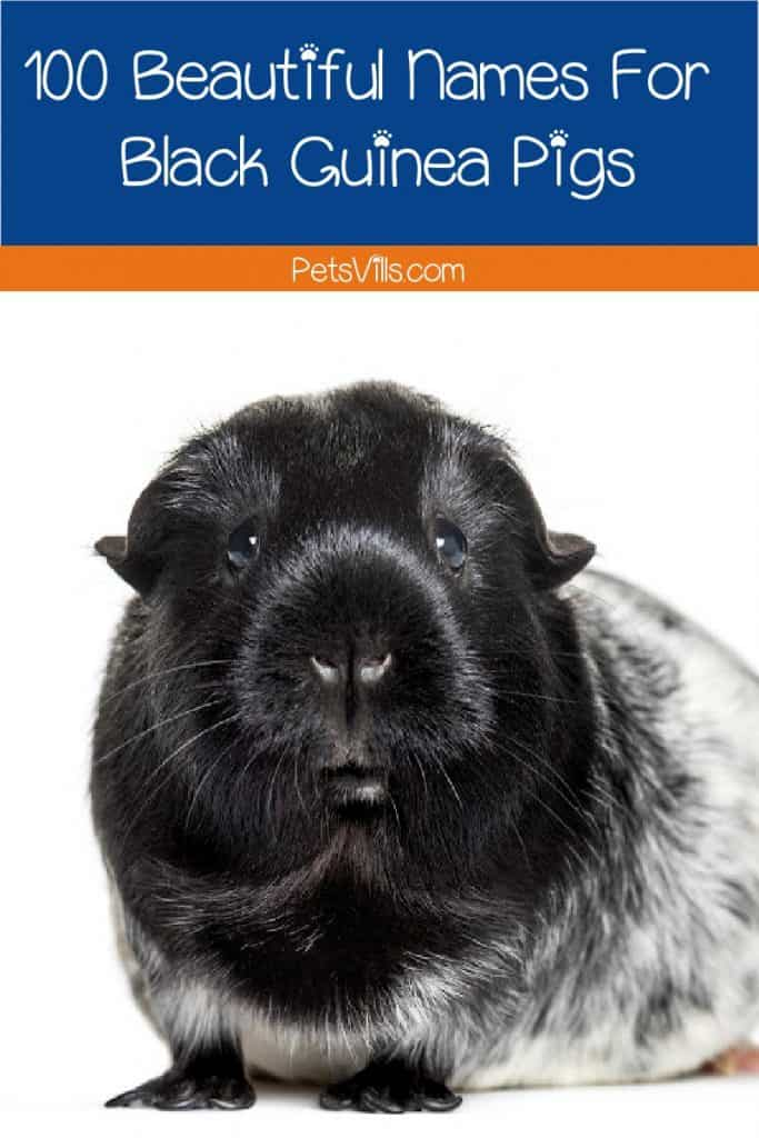 If you're looking for some amazing names for black guinea pigs, we've got you covered! Check out 100 adorable ideas for males and females!