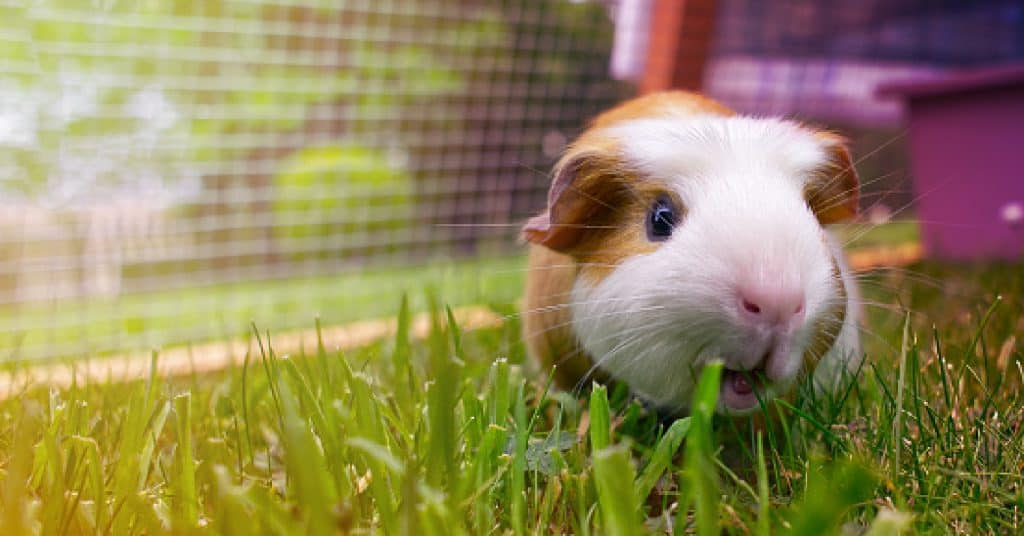 Looking for badass guinea pig names for your tough little cavy? Check out 100 that we think are just hilarious!
