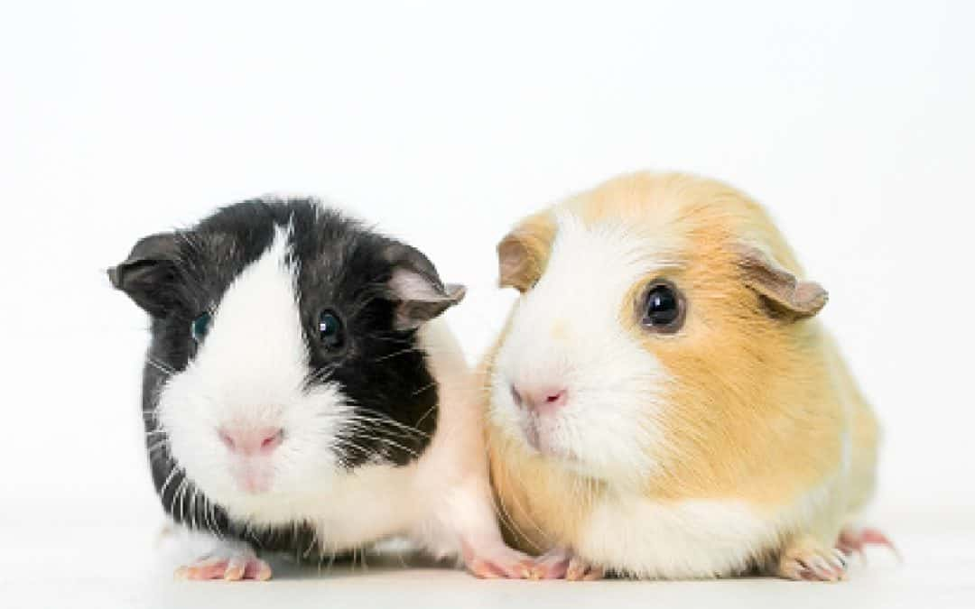 110 Absolutely Charming Guinea Pig Names For Pairs