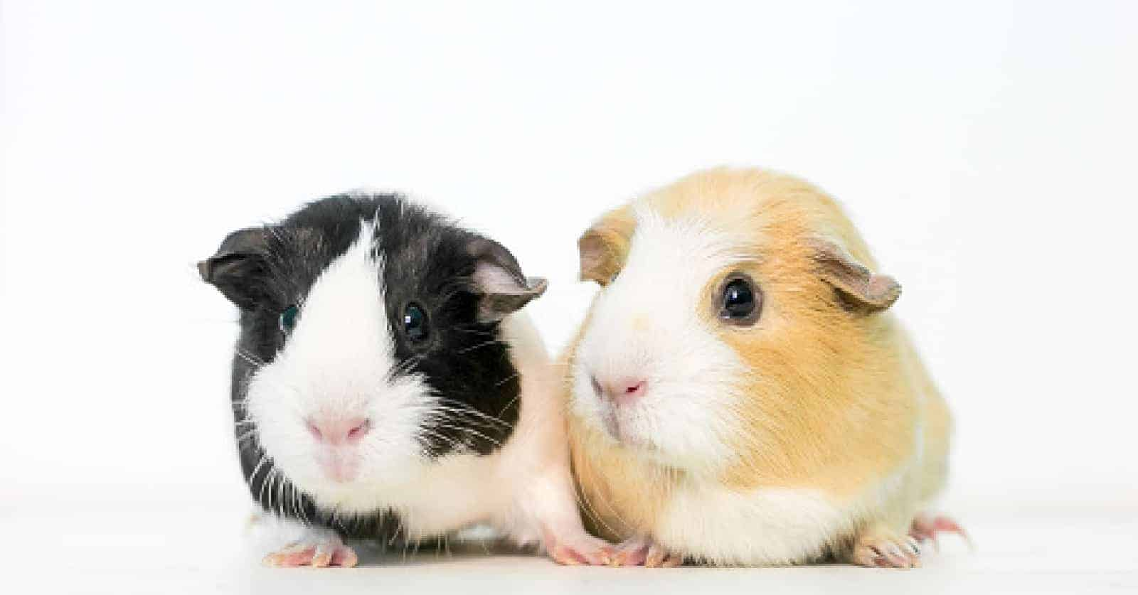 Cavies are happiest when they don't live alone and for that we put together this list of guinea pig names for pairs! Check it out!