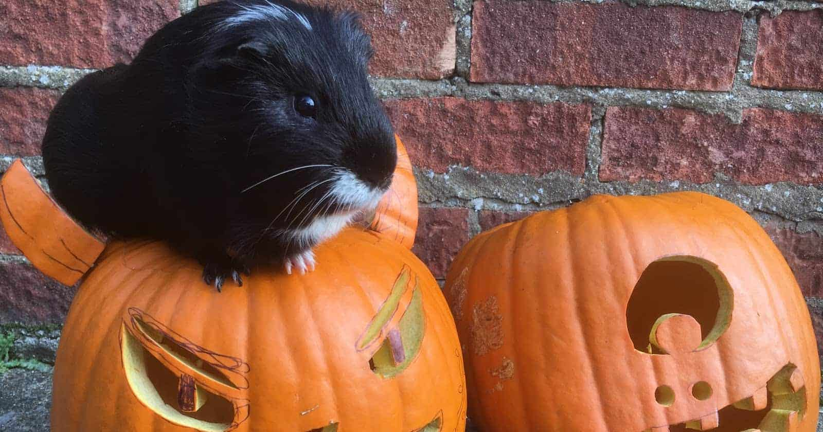 With October right around the corner, we're sharing 100 of the most deliciously spooky Halloween names for guinea pigs! Take a look!