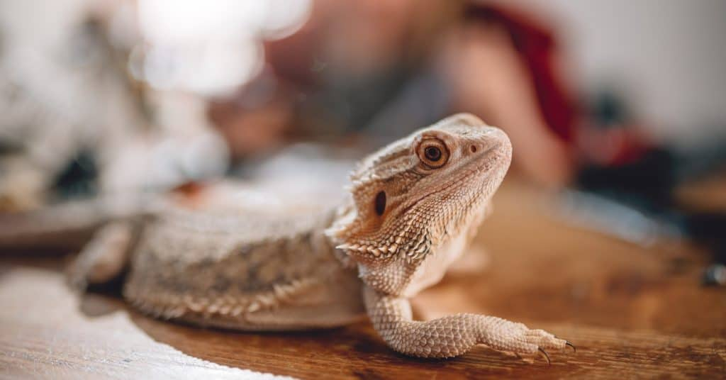 Can bearded dragons eat goldfish crackers? How about actual feeder goldfish? The answer is the same for both. Find out why!