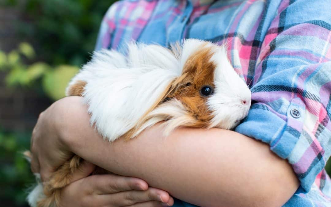 Are Guinea Pigs Affectionate? (Definitive Answer)