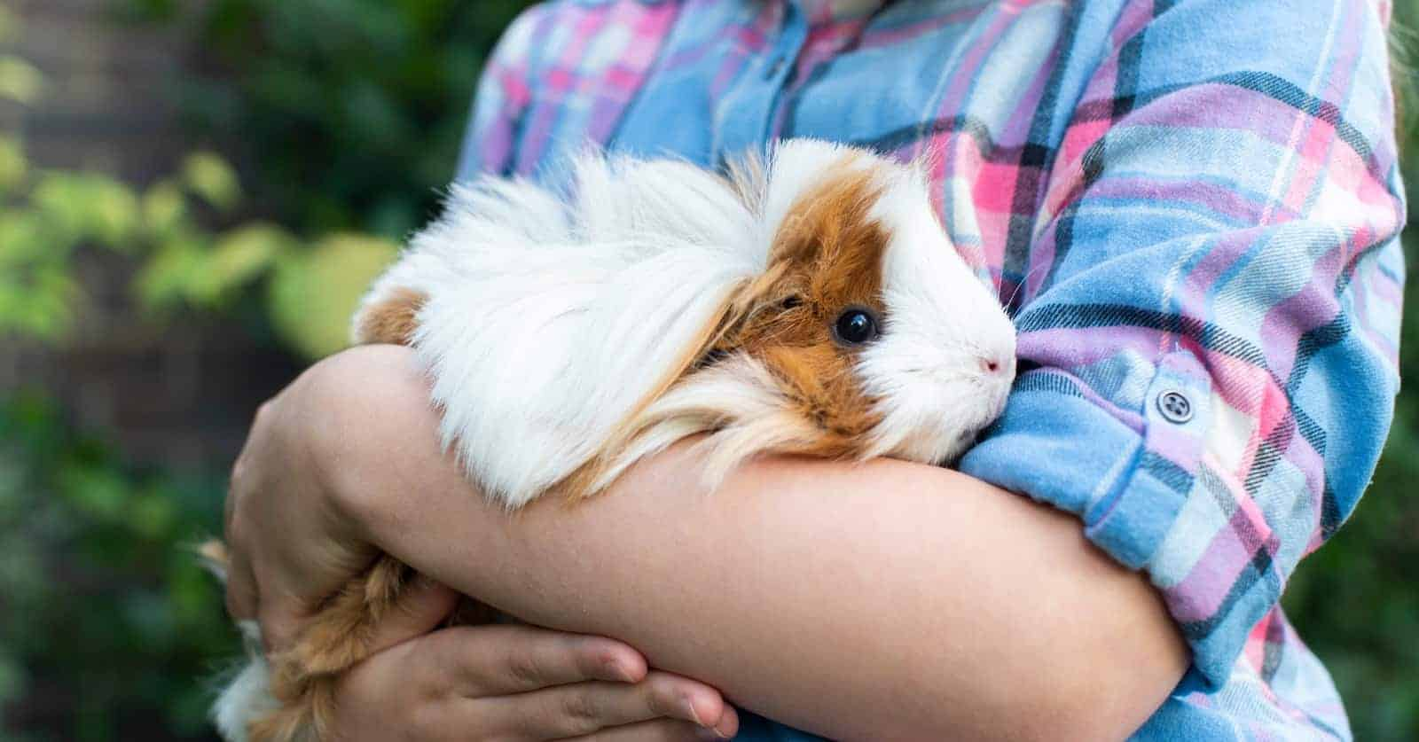 Are guinea pigs affectionate towards their owners? Find out the complete answer, along with signs your cavy loves you and how to build trust!