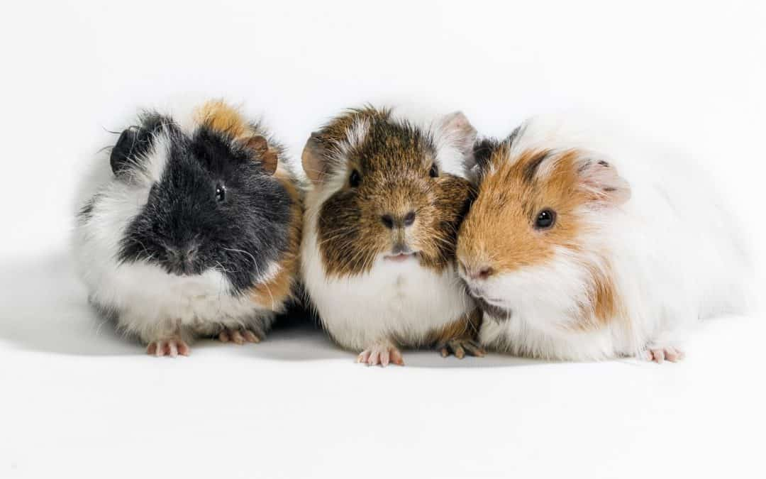 Top 10 Best Gifts for Guinea Pig Lovers (We Want #9 for Ourselves!)