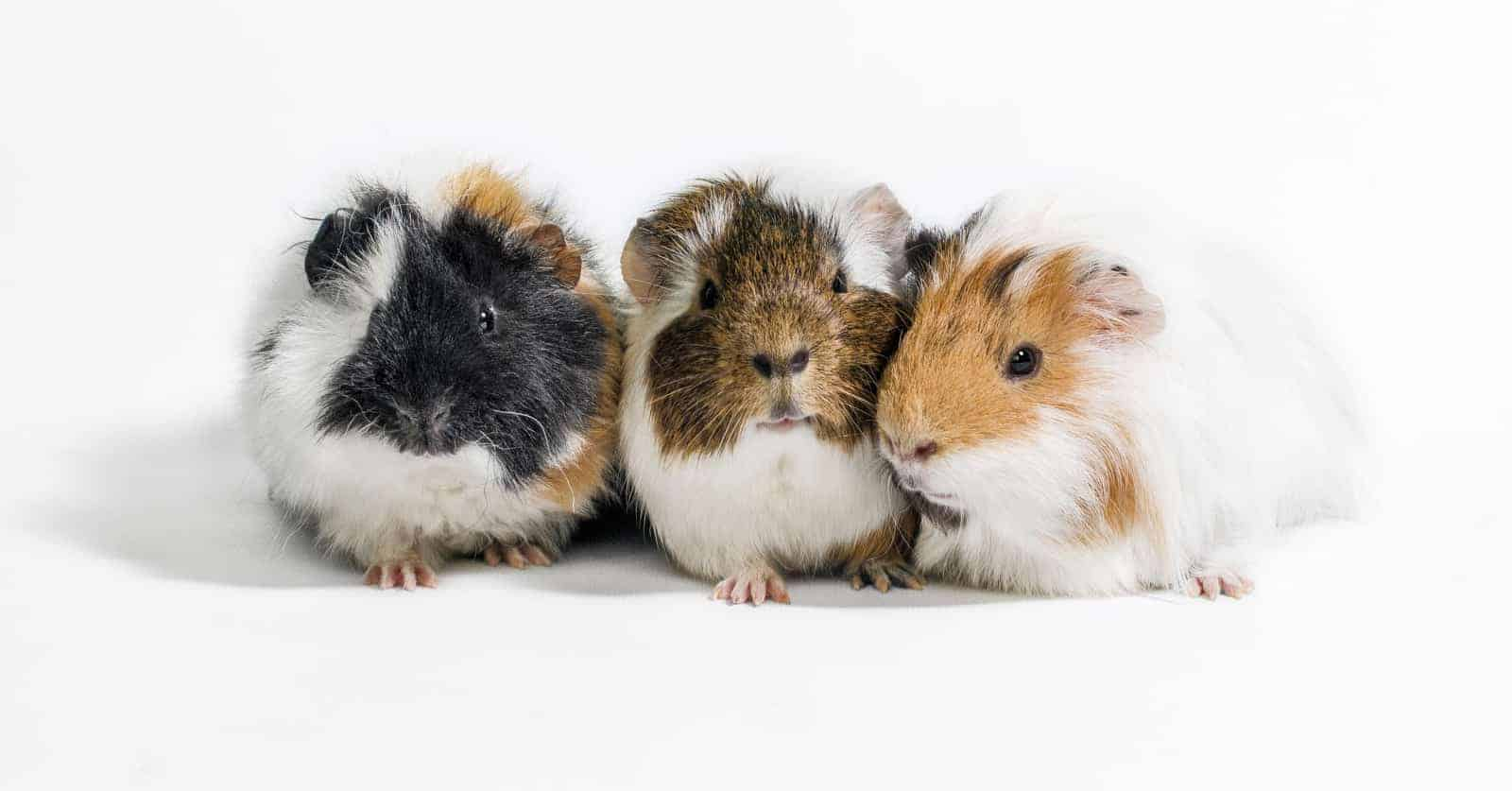 Looking for the best gifts for guinea pig lovers? Check out our list of ten that we just love! We want to buy #9 for ourselves right now!