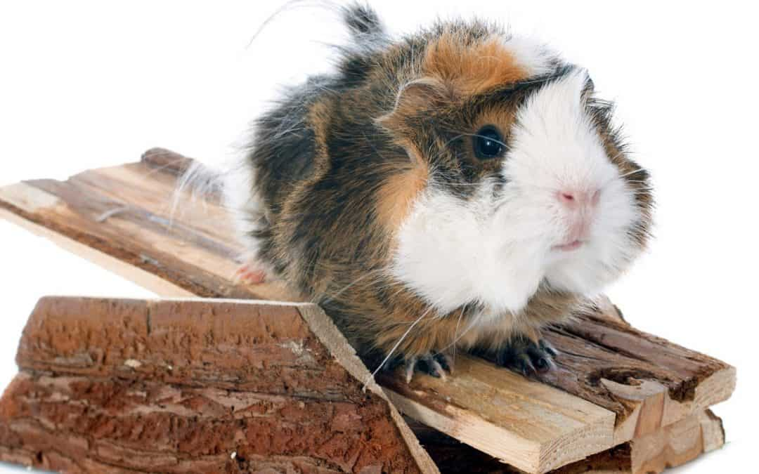 Top 10 Best Guinea Pig Toys to Prevent Boredom