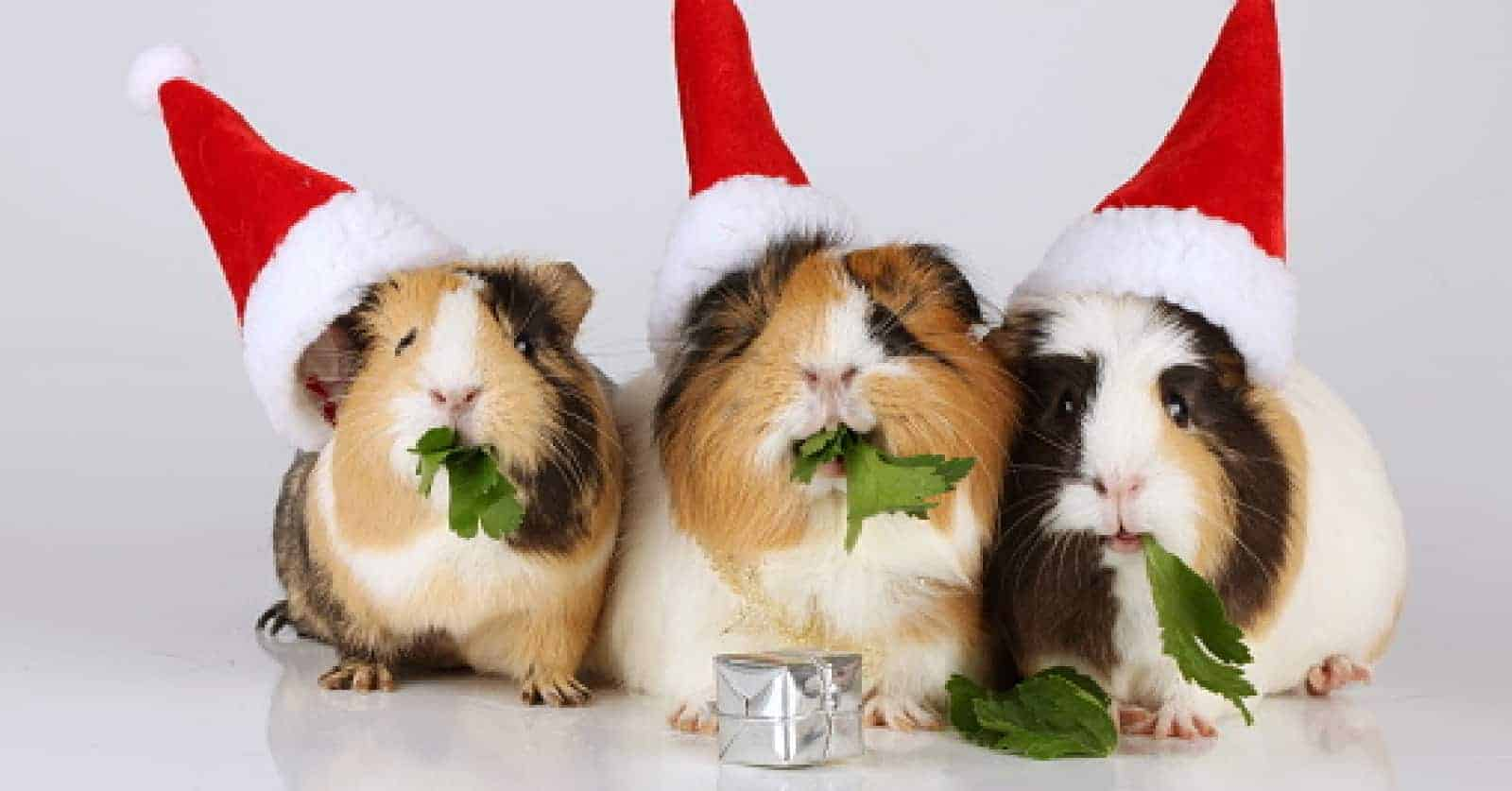 Looking for some cute Christmas-Related Names for Guinea Pigs? Check out 100 that will have you feeling the holiday cheer in no time!