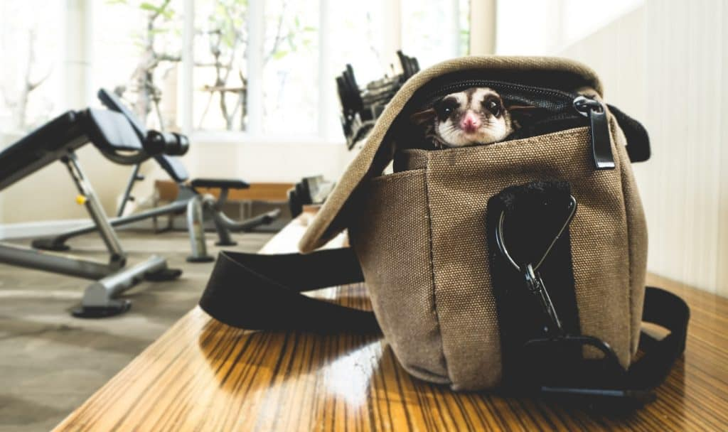Little sugar glider sneaking out of the bag.