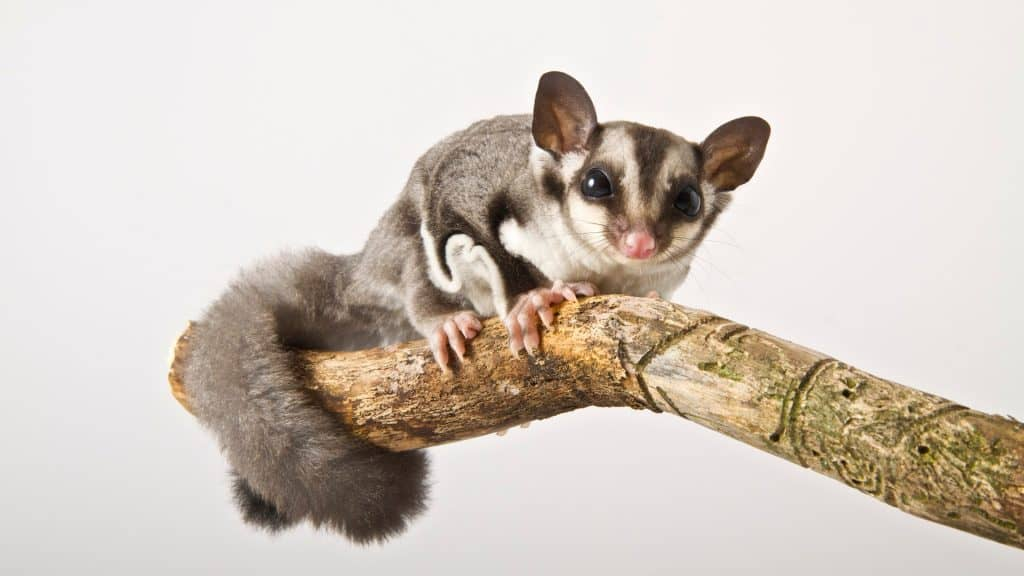 Looking for some sugar glider facts and info to help you decide if they're the right pet for you? Here's everything you need to know before adopting one!