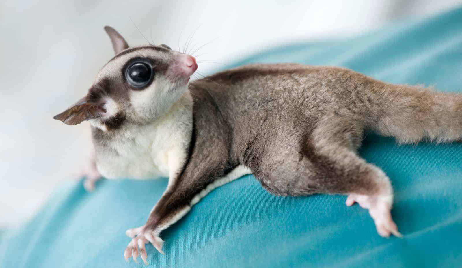 Looking for some cute sugar glider names? Well, we've come up with 100 of them just for you, with 50 each for male and female gliders. Check them out!