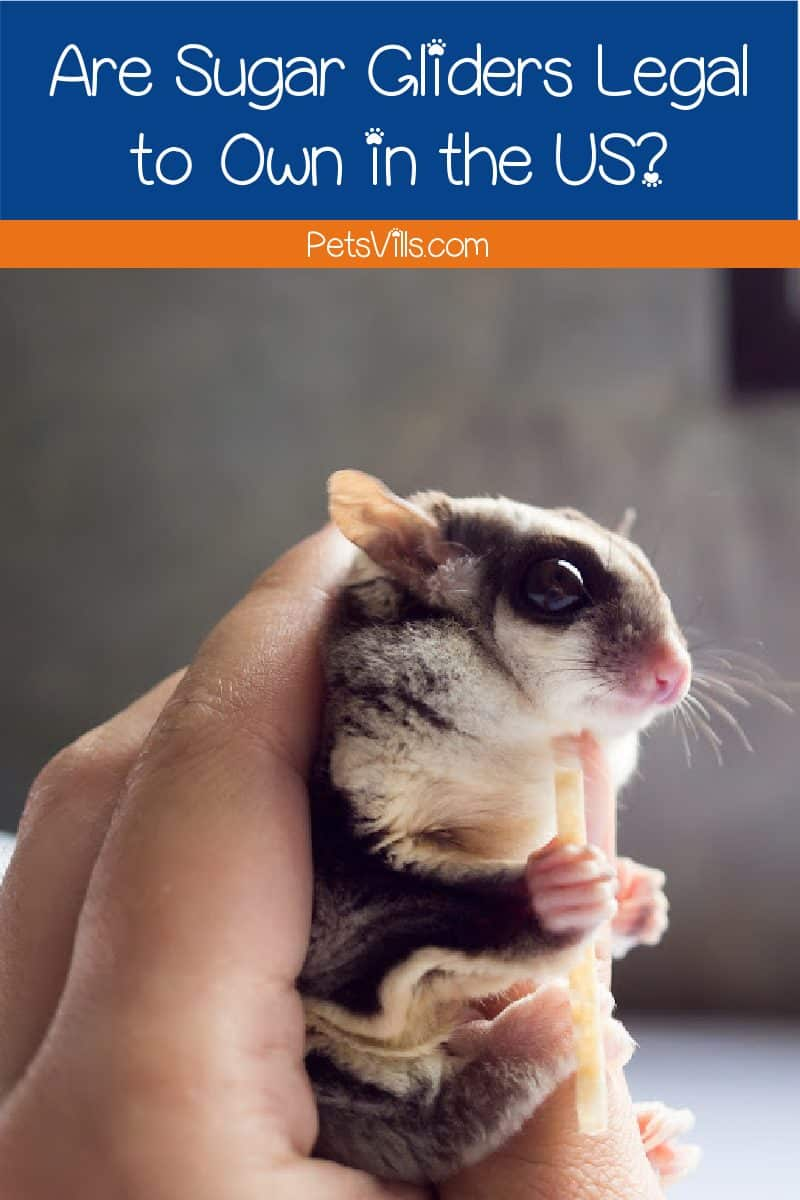 Are sugar gliders legal in your state? Read on for a complete overview of US laws regarding this trendy new pet.