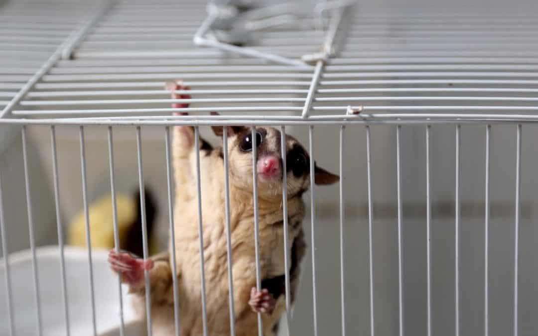 Are Sugar Gliders Legal in Your State? (Guide to All 50 US State Laws)