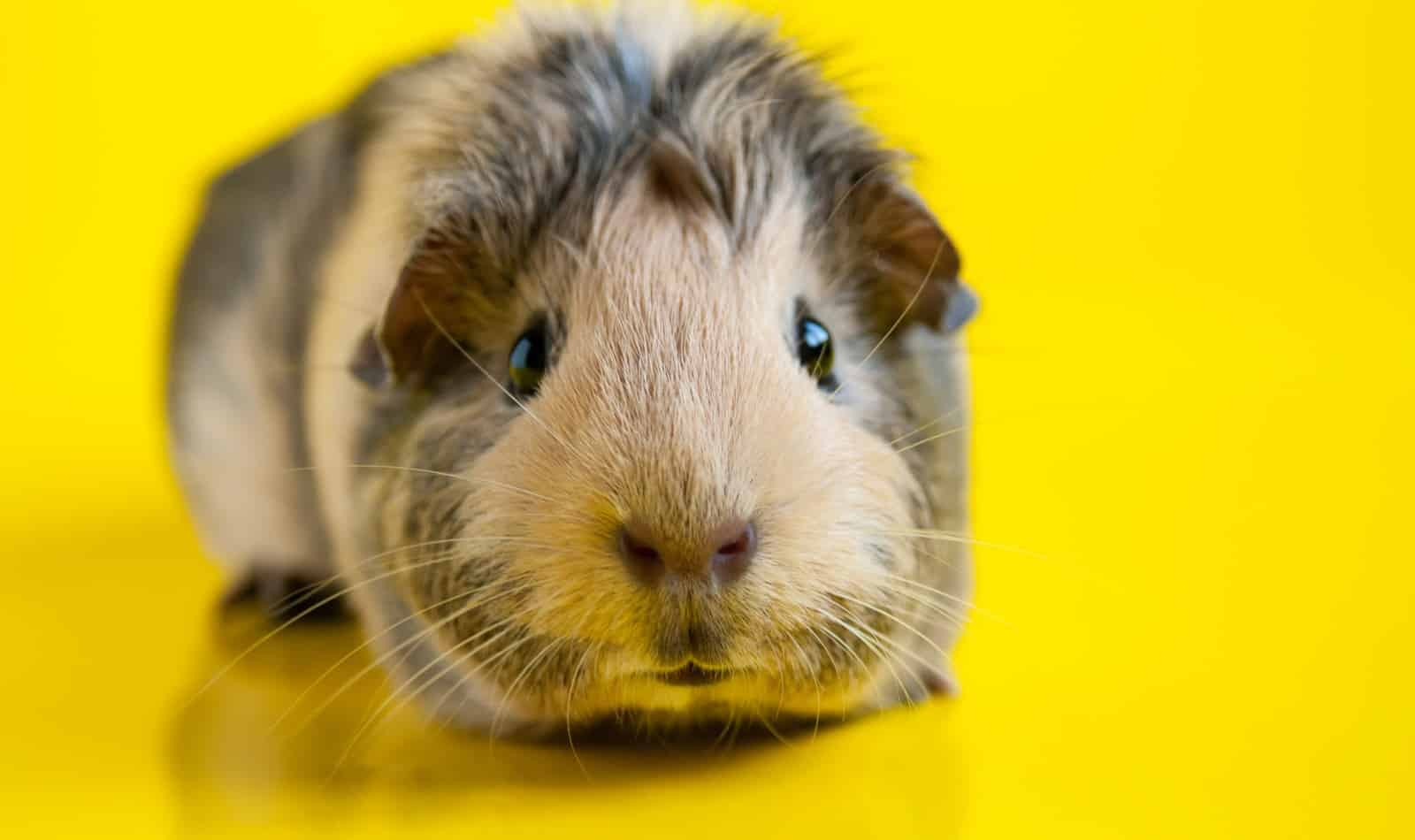 Looking for some really terrific guinea pig names starting with A? We've got 100 of them for you right here! Check them out!