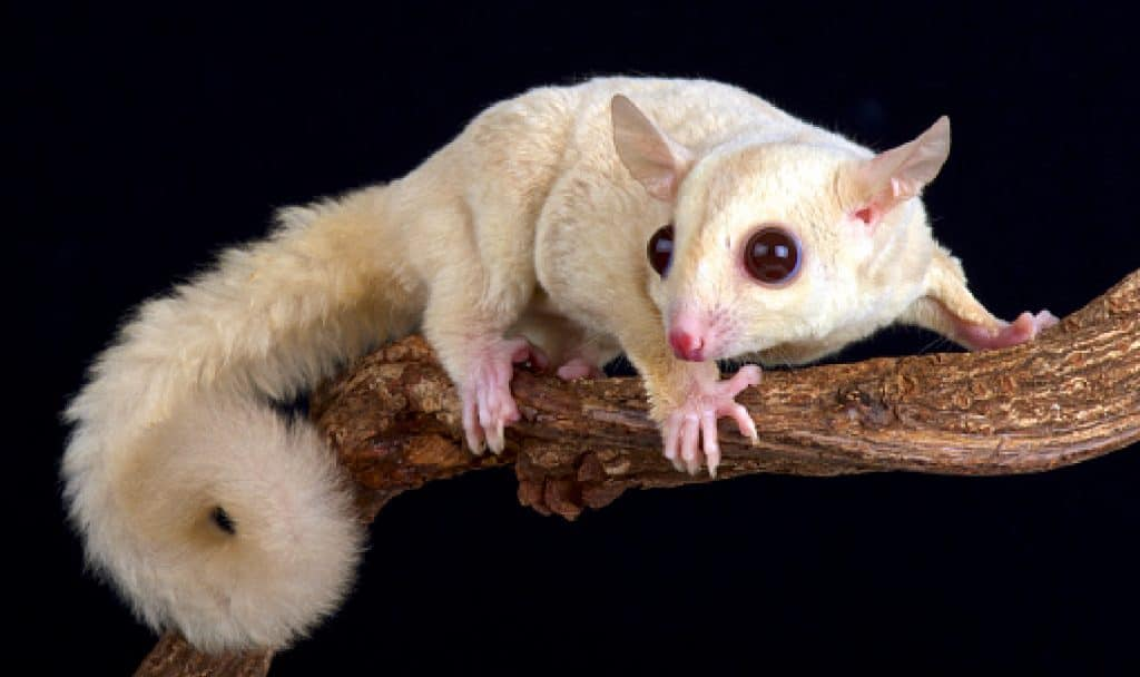 Considering adopting albino sugar gliders but want to know if they're right for you? Check out our complete guide to these unique exotic pets to find out!
