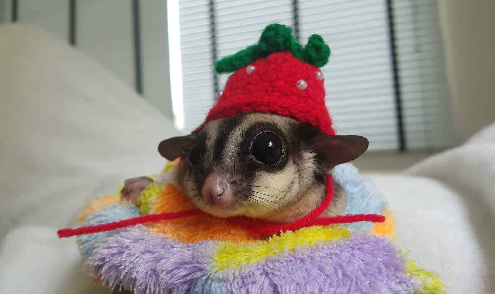 Looking for the best toys for sugar gliders? How about some other tips on keeping them entertained?Either way, we've got you covered! Check out our complete guide!