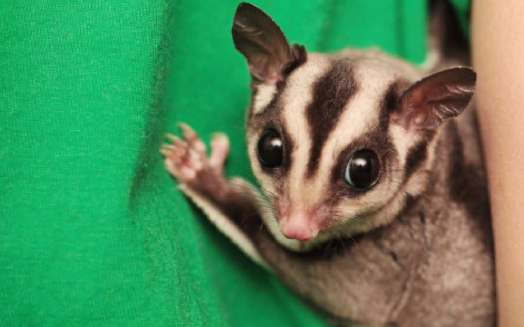 Everything You Need to Know About Caramel Sugar Gliders