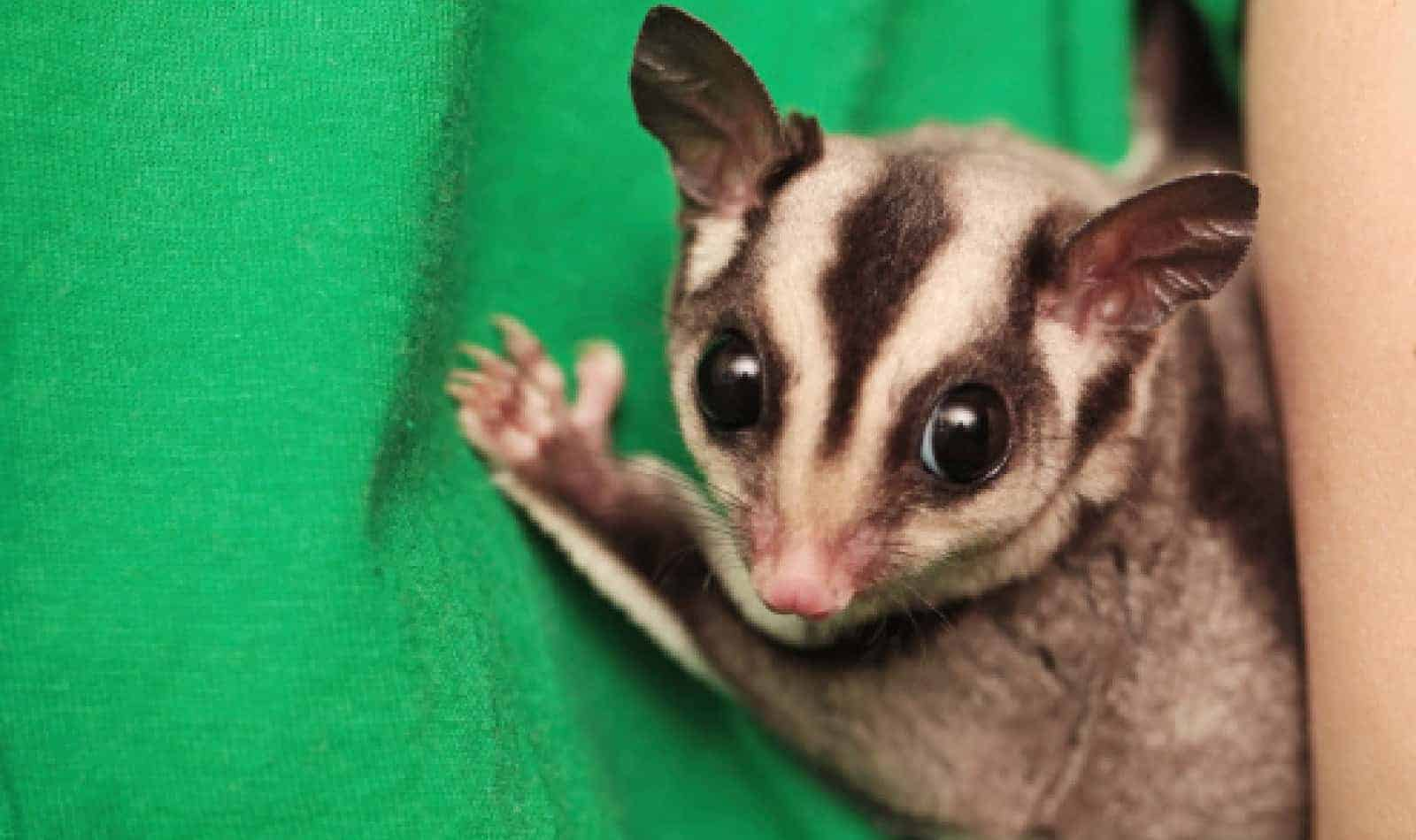 Trying to decide whether a caramel sugar glider is the right pet for your family? Read on for our complete guide to this nifty little marsupial!